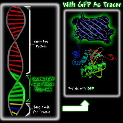 Green fluorescent protein: A perspective