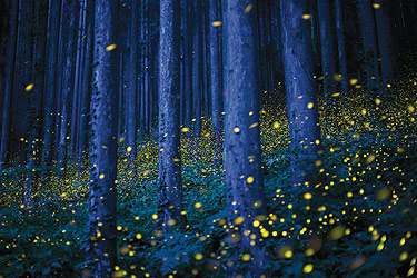 Image of many fireflies in the woods