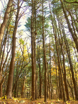 Pioneering conservationist Richard Goodwin planted this stand of white pines in the Arboretum in the 1940s.