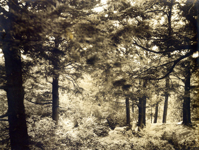 Bolleswood Hemlocks in the Arboretum, ca. 1932.