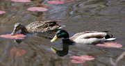 Mallard Ducks in the water.