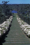 The laurel walk in the Arboretum in 1938.